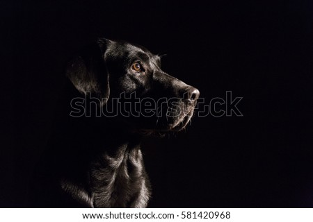 dog portrait on black background. Beautiful black labrador with a tie. Indoors photography