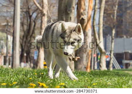 Dog. Portrait on the lawn in the urban environment. Portrait of Siberian Husky