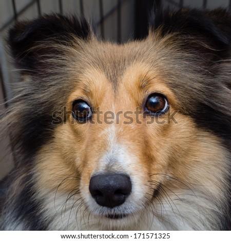 Dog portrait-Shetland sheepdog staring at you #171571325