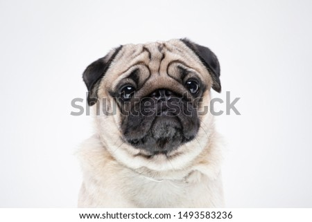 dog pug breed smile with happiness feeling so funny and making serious face isolated on white background,Purebred pug dog healthy Concept
