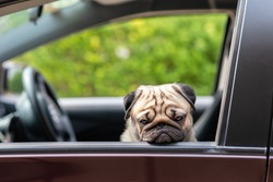 Dog Pug on car making serious face and boring feeling so sad