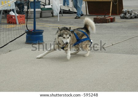 Dog pulling a cart in a weight pull