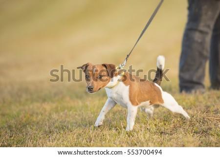 Dog pulls on leash - jack russell terrier #553700494
