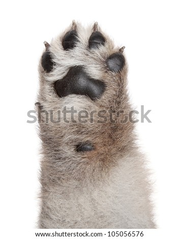 Dog puppy paw. Isolated on a white background