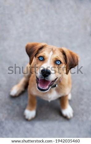 Dog puppy with blue eyes Zdjęcia stock ©