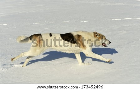 Dog quickly runs on snow. Shadow on the snow