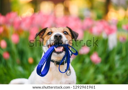 Dog ready for a walk carrying leash in mouth at nice spring morning