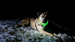 Dog relaxing in the snow outside in the dark night with glowing green collar