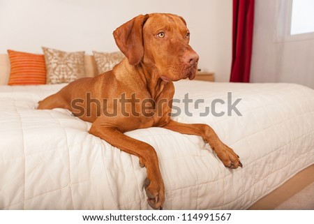 dog resting on humans bed