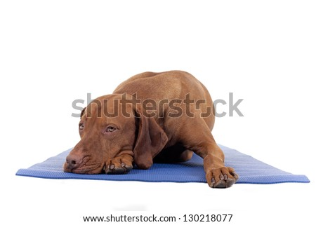 dog resting on yoga mat isolated on white background