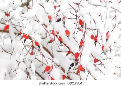 Stock Photo: Dog rose fruits in winter time