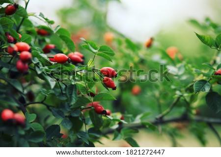 Dog rose fruits (Rosa canina). Wild rosehips in nature. Stock photo ©