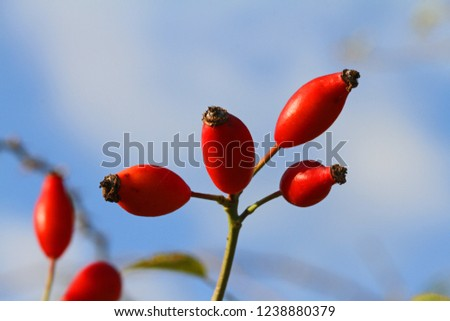 Dog rose or wild rose hips or rosehips in Italy Latin rosa canina and similar to a sweet briar also called eglantine state flower or state symbol of Iowa and North Dakota with healthy properties #1238880379