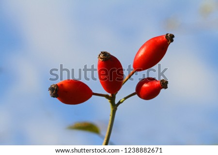 Dog rose or wild rose hips or rosehips in Italy Latin rosa canina and similar to a sweet briar also called eglantine state flower or state symbol of Iowa and North Dakota with healthy properties #1238882671