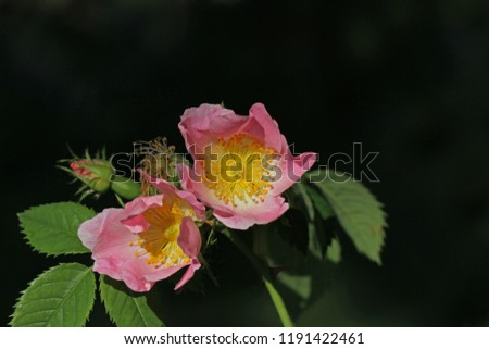 Dog rose or wild rose in bloom in springtime in Italy Latin rosa canina and similar to a sweet briar also called eglantine state flower or state symbol of Iowa and North Dakota #1191422461