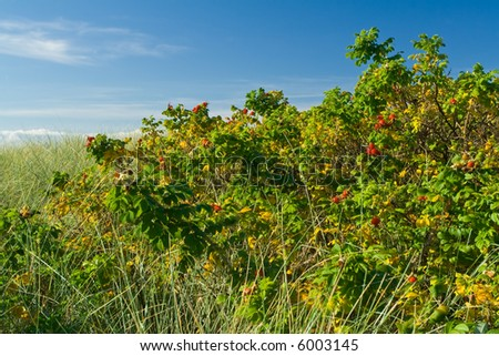 Dog rose shrubs at seaside - stock photo