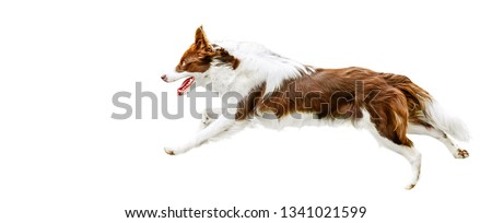 Dog run side view isolated. Brown white border collie jump. Panorama dogs concept or white background.