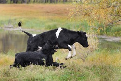 Dog running after a cow