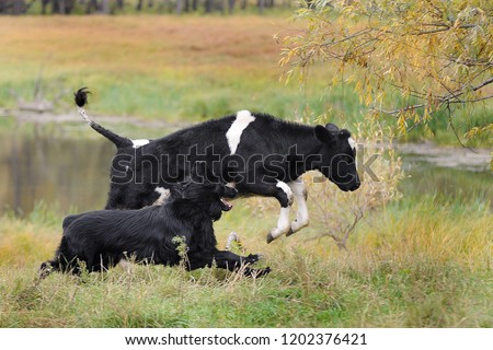 Dog running after a cow #1202376421
