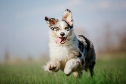 Dog running and playing in the park. Australian Shepherd, Aussie