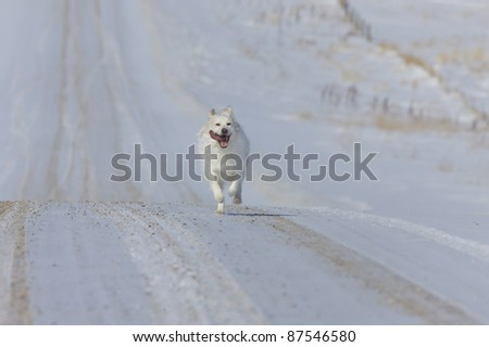 Dog Running on country road winter rural Canada