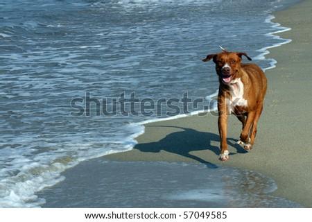 Dog running on the beach, Puerto Escondido