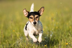 Dog running over dripping wet meadow - jack russell terrier seven years old
