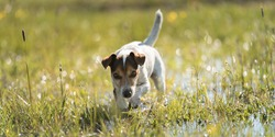 Dog running over dripping wet meadow - jack russell terrier ten years old