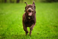 Dog running through a meadow