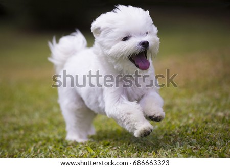 dog running / white maltese dog playing and running on green grass and plants background