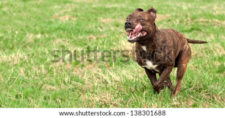 dog runs across the grass with an open mouth and tongue sticking out