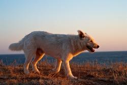 dog runs along the beach at sunset