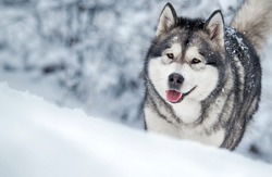 dog runs frosty winter snowy forest, alaskan malamute