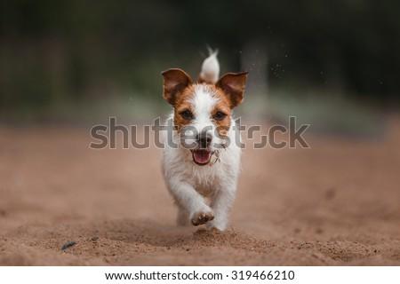 Dog runs on the beach to play an active