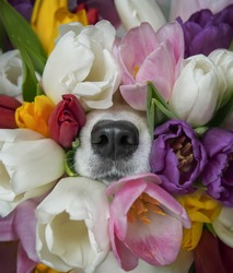Dog's nose peeks out from colorful tulips bouquet. Funny spring greeting card.
