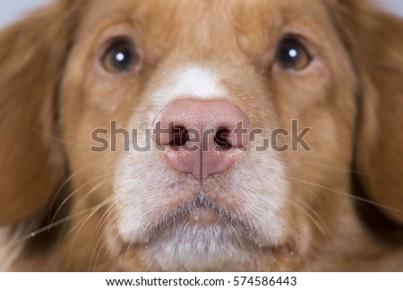 Dog's nose. Pink nose. Close up shot. Dog breed is Nova scotia duck tolling retriever also known as toller.