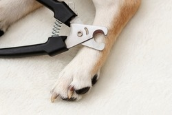 Dog's paws. Claw cutter-trimmer for cutting the claws of cats and dogs, guillotine claw cutter, black. Cutting the claws of a dog.