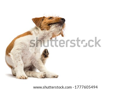 dog scratching paw from allergies and fleas on a white background Foto stock ©