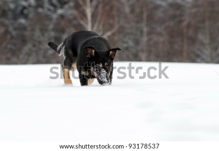 Dog searches in the snow