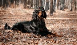 Dog  Setter Gordon lying on autumn dry leaves