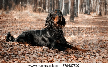 Dog  Setter Gordon lying on autumn dry leaves