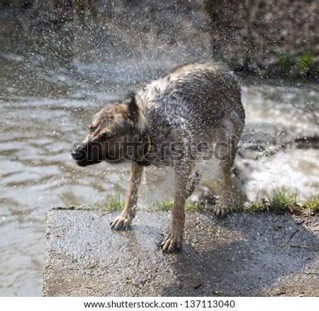 dog shaking after swimming #137113040