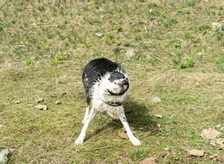 dog shaking off water when leaving the river. Huesca