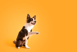 Dog Shaking Paws on Colored Background