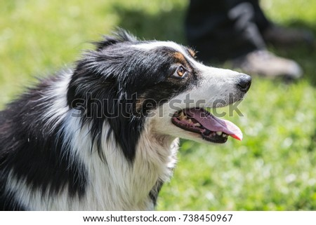 dog shepherd border collie adult outdoor portrait #738450967
