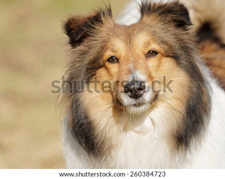 Dog, shetland sheep dog, looking seriously.