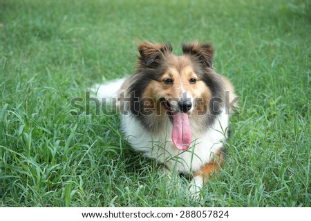Dog, Shetland sheepdog, collie, lying on grass, tongue sticking out, smile with big mouth, she was waiting for ball retrieving.