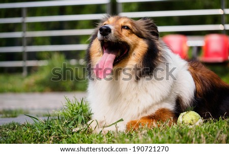 Dog, Shetland sheepdog, collie, smile with big mouth, she was waiting for ball retrieving.