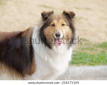 Dog, Shetland sheepdog, collie, smile with big mouth, she was waiting for ball retrieving