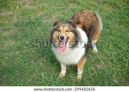 Dog, Shetland sheepdog, collie, standing on grass, tongue sticking out, smile with big mouth, she was waiting for ball retrieving
